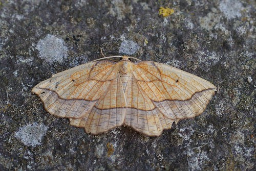 Bordered Beauty (Epione repandaria)