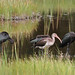 Frank Mantlik has added a photo to the pool:Juvenile White Ibis (Eudocimus albus) with three juvenile Glossy Ibis (Plegadis falcinellus). Old Lyme, Connecticut, USA.12 August 2014.  © Frank Mantlik 2014ebird.org/ebird/view/checklist?subID=S19438459