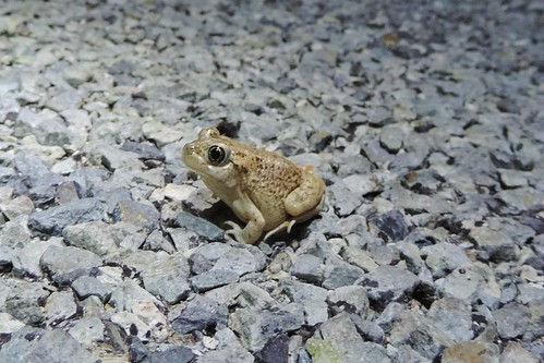 Mexican Spadefoot (Spea multiplicata)