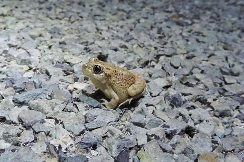Mexican Spadefoot (Spea multiplicata)