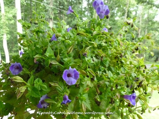 Garden September 9 -torenia