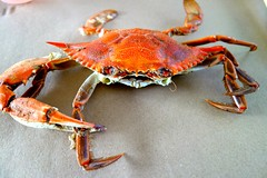 king crab(0.0), homarus(0.0), food(0.0), american lobster(0.0), crab(1.0), animal(1.0), crustacean(1.0), seafood(1.0), invertebrate(1.0), dungeness crab(1.0), fauna(1.0),