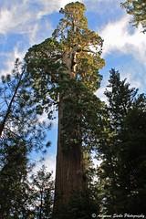 General Grant Tree - Kings Canyon National Park