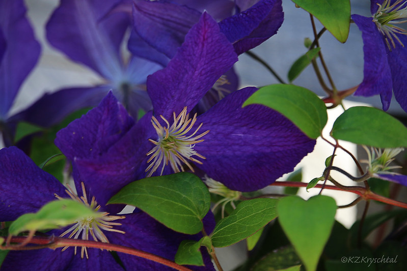 IMG_3025Clematis