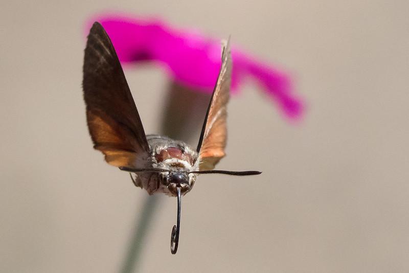 Hummingbird Hawk Moth June 2015 (Study 1)