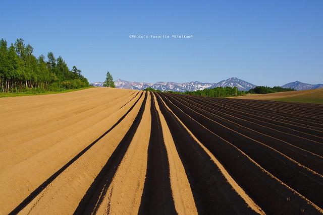 ジャガイモ畑2