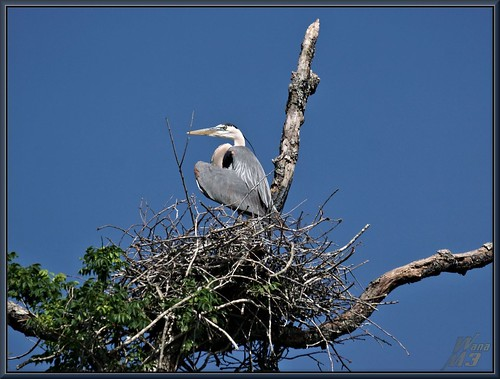 tree heron nature texas nest wildlife sony bayou pasadena canoeing paddling greatblueheron nesting a77 gbh armandbayou avianexcellence sonya77 wanam3 sunrays5