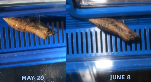 Chrysalis comparison 10 days out