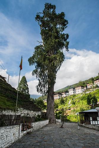 Cypress tree at Trongsa dzong