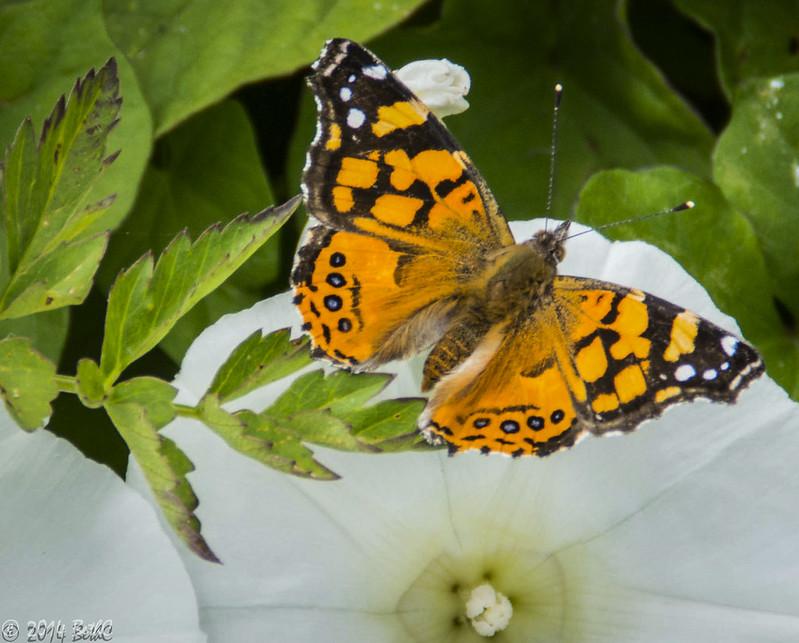 153/365 Beautyfly