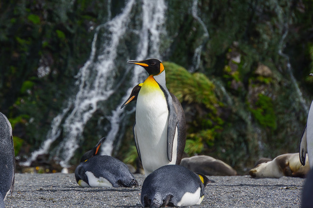 King Penguin with Waterfall
