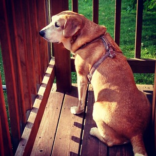 Critter Patrol! #dogstagram #rescued #houndmix #happydog #ilovemydogs #adoptdontshop #summer #sunshine #deck #love #focused #TheWatcher #mutt #ilovebigmutts