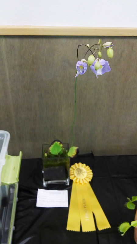 Utricularia humboldtii, Arthur Yin