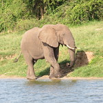 Elephant on the edge of the Kazinga Channel at Queen Elizabeth National Park, Uganda