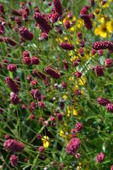 SANGUISORBA tenuifolia 'Pieters'