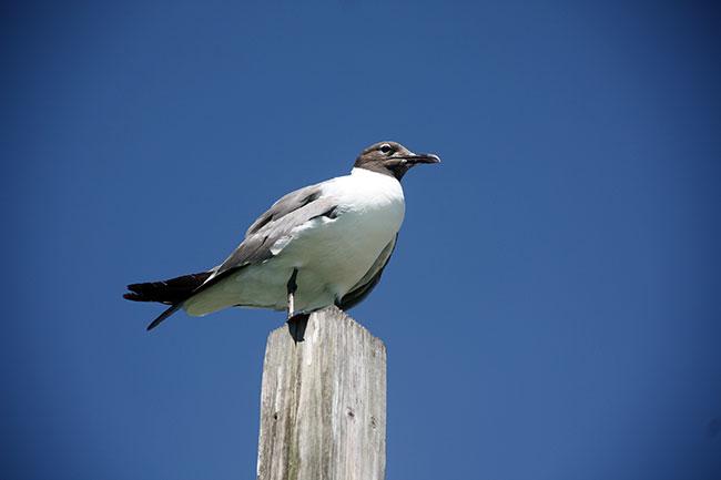 Dewey_seagull