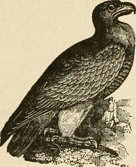 """Image from page 41 of """"The history of birds : their varieties and oddities, comprising graphic descriptions of nearly all known species of birds, with fishes and insects, the world over, and illustrating their varied habits, modes of life, and distinguish"""