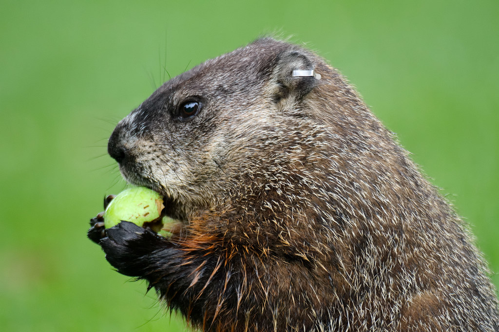 A close-up view of a groundhog eating an apple