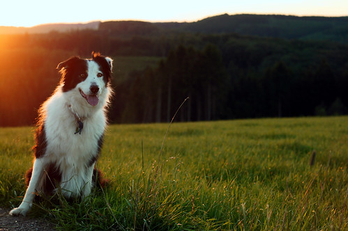 sunset portrait dog sun 50mm evening collie sony cosina bordercollie sweep nex f17 m42mount cosinon50mmf17 emount nex5r sonynex5r lewist584