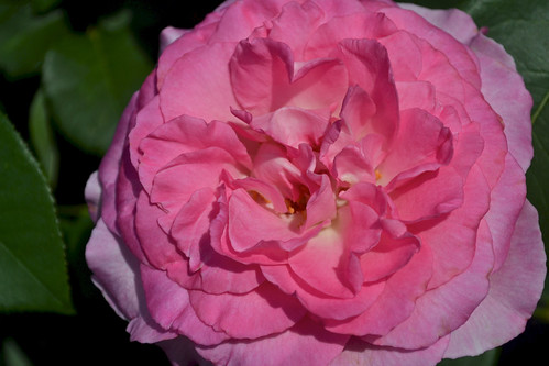 Rosa 'Beverly'