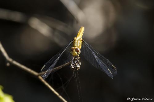 Erythrodiplax basifusca