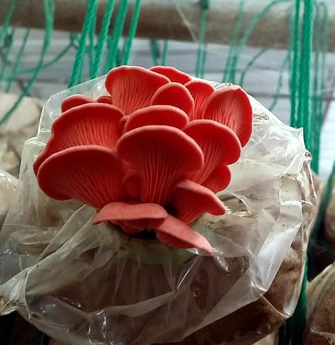 אשכול פטריות צדפה ורודות