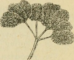 """Image from page 381 of """"Flora of Syria, Palestine, and Sinai : from the Taurus to Ras Muhammas and from the Mediterranean sea to the Syrian desert"""" (1896)"""