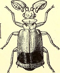 """Image from page 511 of """"Coleoptera : general introduction and Cicindelidae and Paussidae"""" (1912)"""