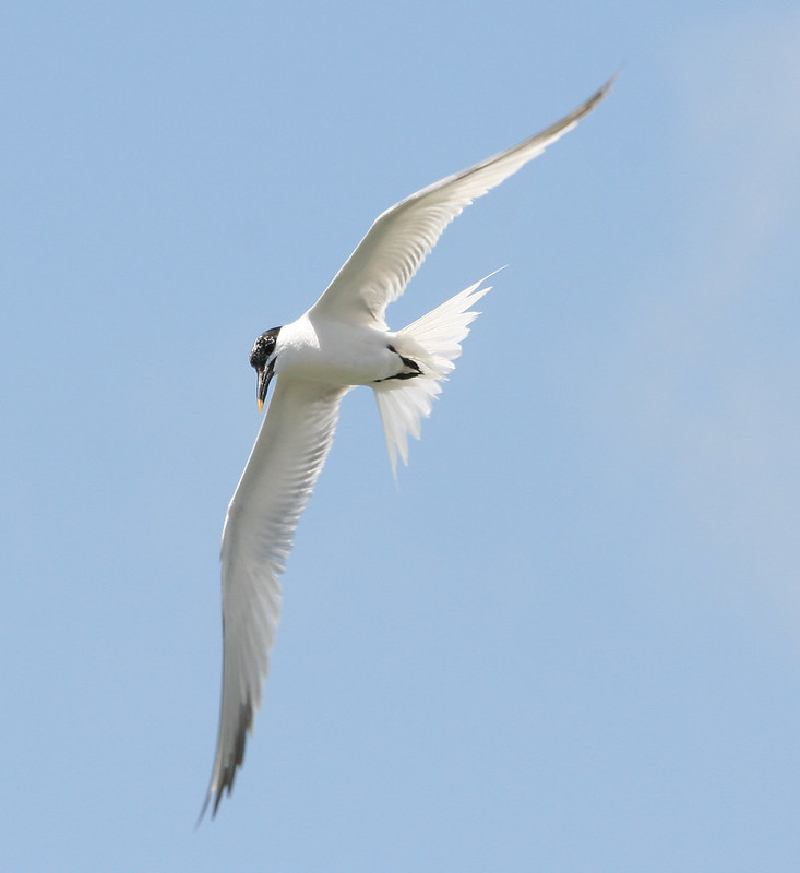 Sandwich Tern - Adult - Breeding Plumage