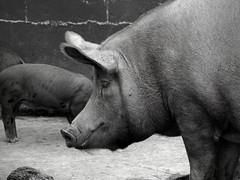 animal, zoo, domestic pig, mammal, monochrome photography, fauna, monochrome, black-and-white, wildlife,