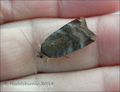 Lesser Broad-bordered Yellow Underwing - 2111