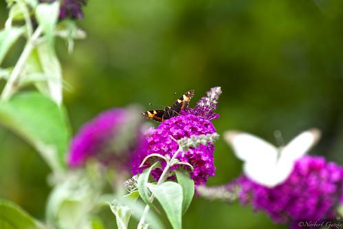 2014-07-20 Schmetterling (1)