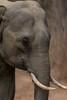 Short Tusker