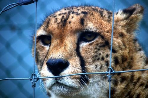盜捕獵豹(圖片來源:Nic Redhead)
