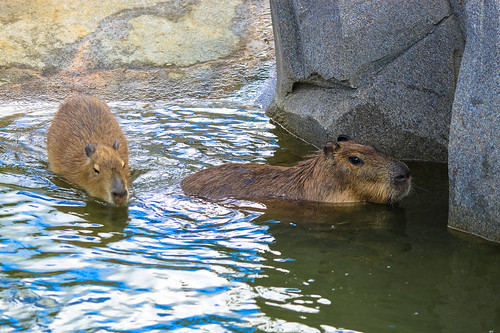Coypu at Paris Zoo