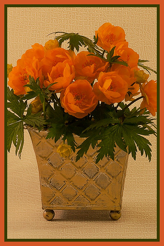 Trollius In Orange