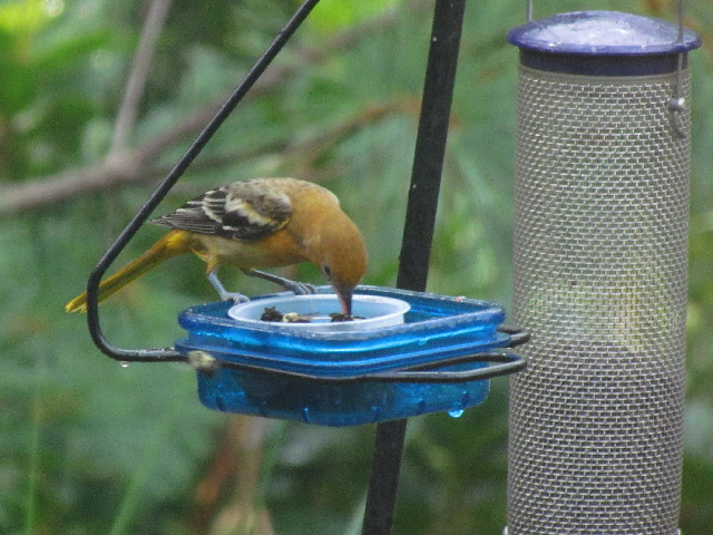 Oriole and bees1 8:17:14