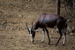 gemsbok(0.0), pack animal(0.0), herd(0.0), hartebeest(0.0), common eland(0.0), oryx(0.0), animal(1.0), antelope(1.0), wildebeest(1.0), mammal(1.0), horn(1.0), fauna(1.0), safari(1.0), wildlife(1.0),