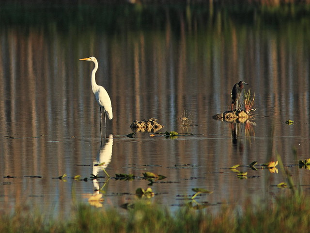 Great Egret and Little Blue Heron 20140905