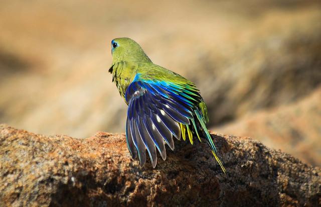 Rock Parrot, South West Australia