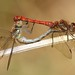 Common Darters by Lutra56