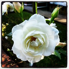 Simple white rose