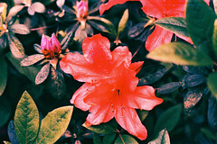 flower, leaf, red, macro photography, flora, petal, azalea,