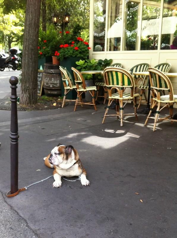 Parisian Bulldog