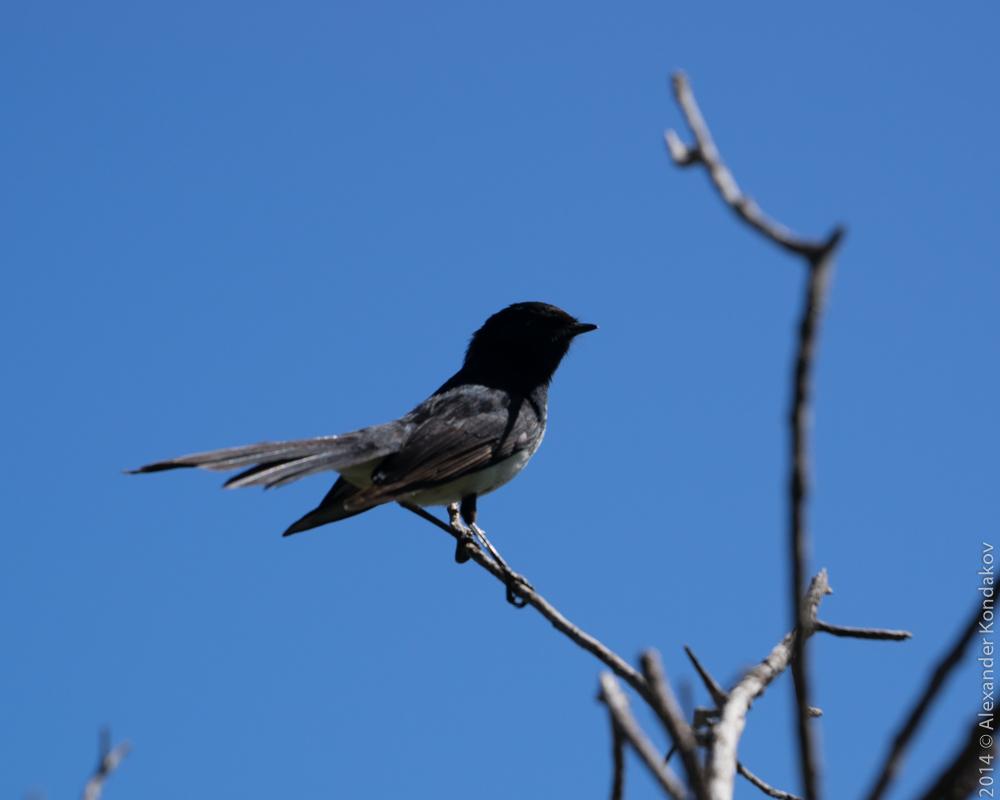 Birds SA Adelaide-3