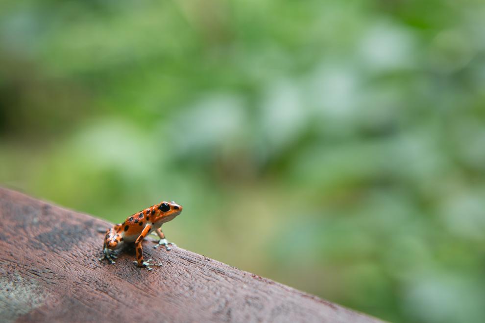 Las ranas del bosque tropical húmedo de Panamá pueden experimentar extraordinarias variaciones en colores, formas y hábitos. (Tetsu Espósito)