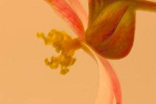 Rex Begonia Stamen Macro