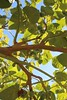 tree_tomato1