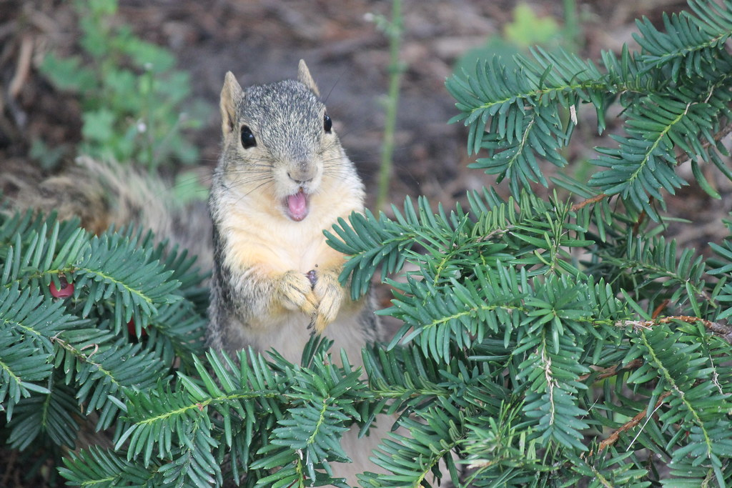 83/365/2274 (September 2, 2014) - Squirrels on the 1st Day of Fall Term at the University of Michigan (September 2, 2014)