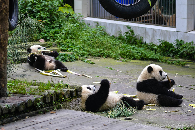 Panda cubs eating